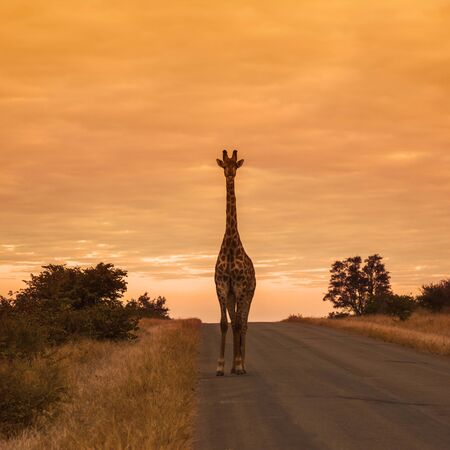 Giraffe standing front view on safari road at sunrise in Kruger National park, South Africa ; Specie Giraffa camelopardalis family of Giraffidae Stock Photo
