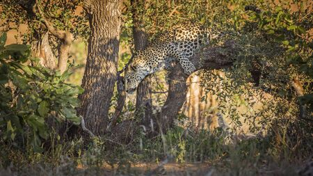 Leopard jumping down a tree in park, South Africa ; Specie Panthera pardus family of Felidae