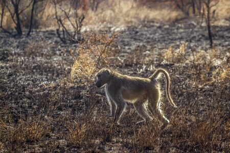 Chacma baboon in burn savannah scenery in park, Africa ; Specie Papio ursinus family of Cercopithecidae Stockfoto