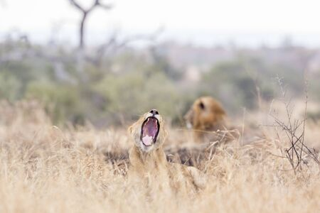 African lioness yawning with male in background in park, South Africa ; Specie Panthera leo family of Felidae