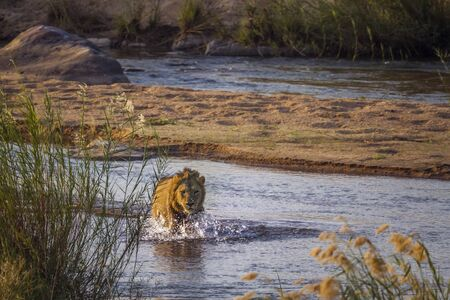 African lion male crossing a river front view in Kruger National park, South Africa ; Specie Panthera leo family of Felidae Stock Photo