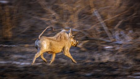 Common warthog running in the bush in Kruger National park, South Africa ; Specie Phacochoerus africanus family of Suidae