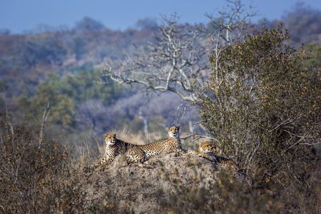 Cheetah family lying down on top of termite mound in Kruger National park, South Africa ; Specie Acinonyx jubatus family of Felidae