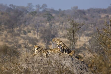 Family of four Cheetahs resting in termite mound in Kruger National park, South Africa ; Specie Acinonyx jubatus family of Felidae