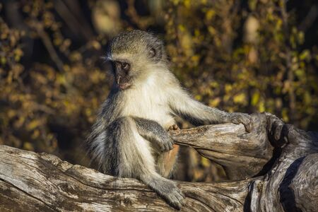 Cute young Vervet monkey sitting on stump in Kruger National park, South Africa ; Specie Chlorocebus pygerythrus family of Cercopithecidae 스톡 콘텐츠