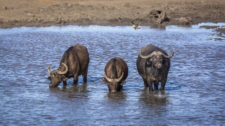 Three African buffalos drinking in a lake in Kruger National park, South Africa ; Specie Syncerus caffer family of Bovidae