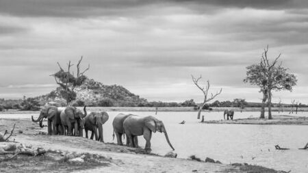Small group of African bush elephants walking on lake side in Kruger National park, South Africa ; Specie Loxodonta africana family of Elephantidae