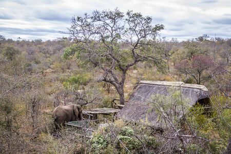 African bush elephant walking close to savannah house in Kruger National park, South Africa ; Specie Loxodonta africana family of Elephantidae 스톡 콘텐츠