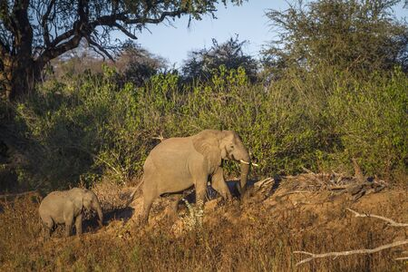 African bush elephants female and baby in twilight in Kruger National park, South Africa ; Specie Loxodonta africana family of Elephantidae