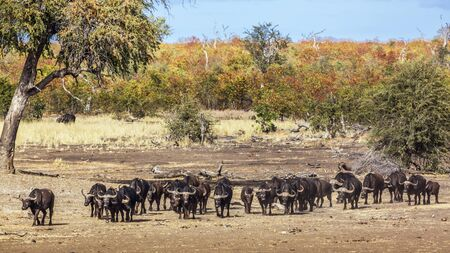 African buffalo herd walking in front view in Kruger National park, South Africa ; Specie Syncerus caffer family of Bovidae