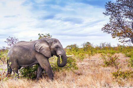 African bush elephant with broken tusk walking in savannah in Kruger National park, South Africa ; Specie Loxodonta africana family of Elephantidae 写真素材