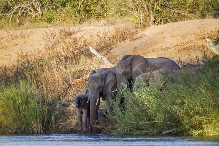 African bush elephant small group drinking at river in Kruger National park, South Africa ; Specie Loxodonta africana family of Elephantidae 스톡 콘텐츠