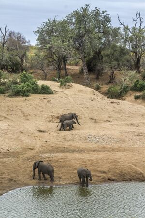 Small group of African bush elephants on riverside in Kruger National park, South Africa ; Specie Loxodonta africana family of Elephantidae