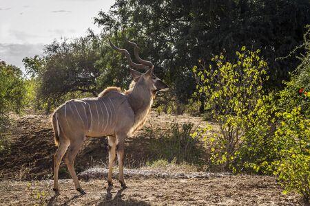 Greater kudu male in green savannah in Kruger National park, South Africa ; Specie Tragelaphus strepsiceros family of Bovidae