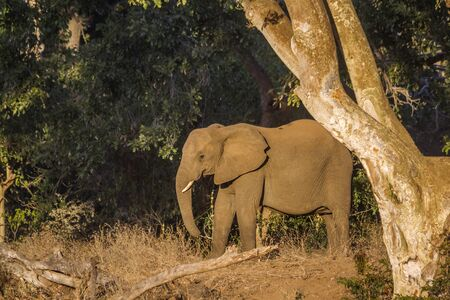 African bush elephant in twilight in Kruger National park, South Africa ; Specie Loxodonta africana family of Elephantidae