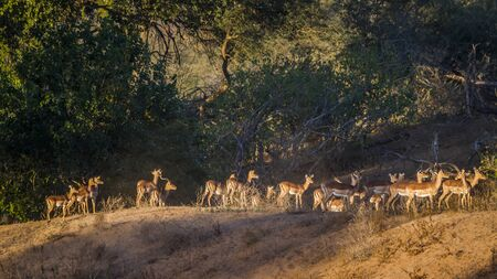 Large group of Common Impalas at dawn in Kruger National park, South Africa ; Specie Aepyceros melampus family of Bovidae