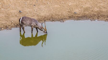 Common Waterbuck drinking in waterhole with reflection in Kruger National park, South Africa ; Specie Kobus ellipsiprymnus family of Bovidae