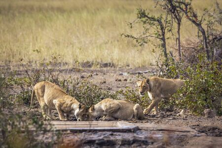 Three African lioness drinking at waterhole in Kruger National park, South Africa ; Specie Panthera leo family of Felidae 스톡 콘텐츠