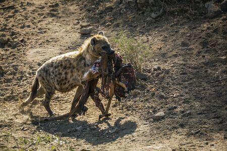 Spotted hyaena carrying rest of impala prey in Kruger National park, South Africa ; Specie Crocuta crocuta family of Hyaenidae