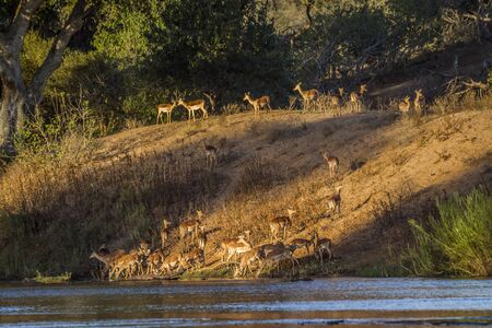 Herd of Common Impalas in riverbank in Kruger National park, South Africa ; Specie Aepyceros melampus family of Bovidae