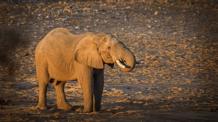 African bush elephant drinking in waterhole on riverbank in Kruger National park, South Africa ; Specie Loxodonta africana family of Elephantidae