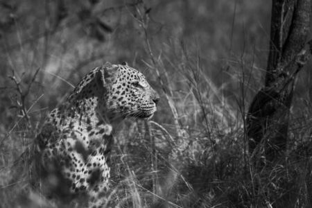 Leopard portrait isolated in natural background in Kruger National park, South Africa ; Specie Panthera pardus family of Felidae