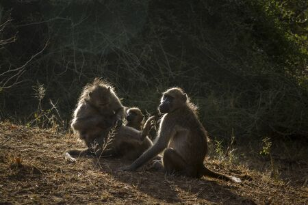Chacma baboon family portrait in backlit in Kruger National park, South Africa ; Specie Papio ursinus family of Cercopithecidae