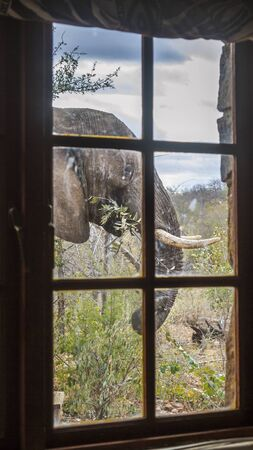 African bush elephant portrait through a window in Kruger National park, South Africa ; Specie Loxodonta africana family of Elephantidae 스톡 콘텐츠