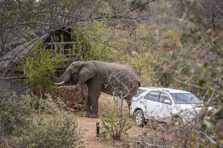 African bush elephant eating plante in a lodge garden in Kruger National park, South Africa ; Specie Loxodonta africana family of Elephantidae 스톡 콘텐츠