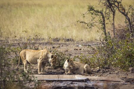 Two African lioness drinking at waterhole in Kruger National park, South Africa ; Specie Panthera leo family of Felidae 스톡 콘텐츠