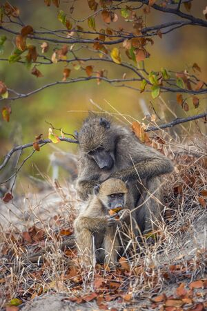 Chacma baboon female delousing young in Kruger National park, South Africa ; Specie Papio ursinus family of Cercopithecidae 스톡 콘텐츠