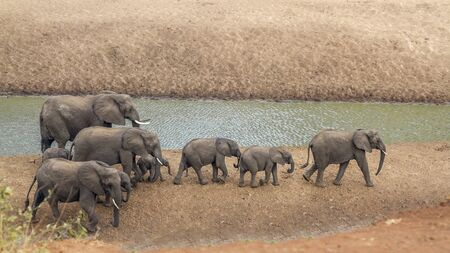 Small group of African bush elephants walking on riverbank in Kruger National park, South Africa ; Specie Loxodonta africana family of Elephantidae