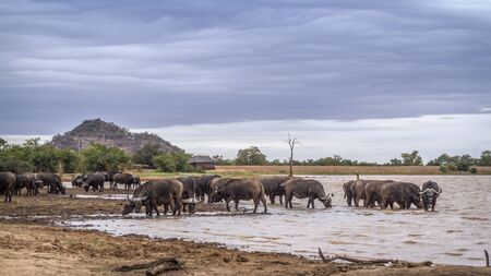 African buffalo herd drinking in lake in Kruger National park, South Africa ; Specie Syncerus caffer family of Bovidae