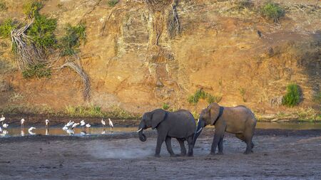 Two African bush elephants walking on riverbank with waterbirds in Kruger National park, South Africa ; Specie Loxodonta africana family of Elephantidae 스톡 콘텐츠