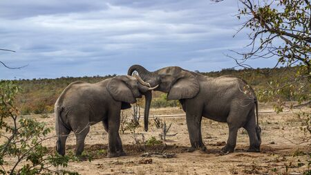 Two African bush elephants playing in savannah in Kruger National park, South Africa ; Specie Loxodonta africana family of Elephantidae 스톡 콘텐츠