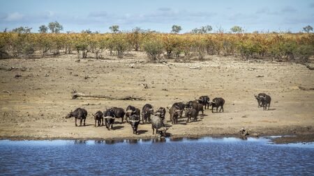 African buffalo herd running to drink in lakeside in Kruger National park, South Africa ; Specie Syncerus caffer family of Bovidae 스톡 콘텐츠