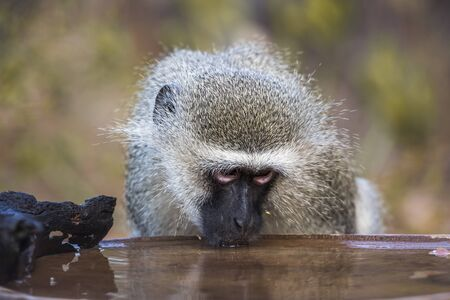 Portrait of Vervet monkey drinking at pond in Kruger National park, South Africa ; Specie Chlorocebus pygerythrus family of Cercopithecidae