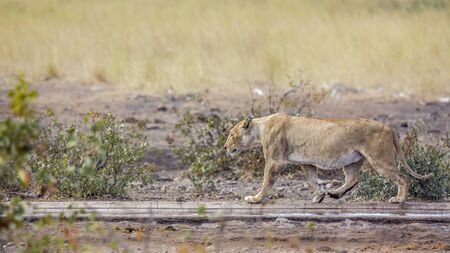 African lioness walking along waterhole after drinking in Kruger National park, South Africa ; Specie Panthera leo family of Felidae