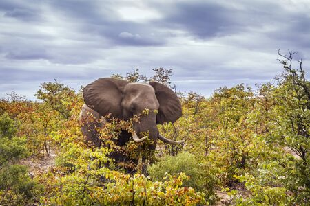 African bush elephant walking in fall color bush in Kruger National park, South Africa ; Specie Loxodonta africana family of Elephantidae