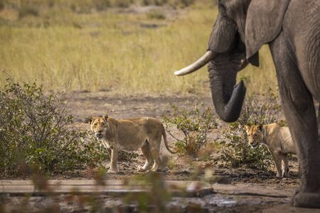 African bush elephant and two lioness at the same waterpond in Kruger National park, South Africa ; Specie Loxodonta africana family of Elephantidae