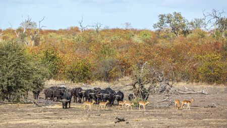 African buffalo herd and impalas in Kruger National park, South Africa ; Specie Syncerus caffer family of Bovidae