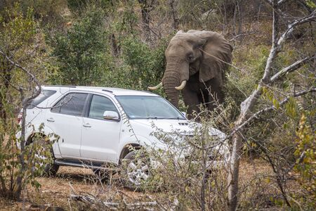 African bush elephant close to car in Kruger National park, South Africa ; Specie Loxodonta africana family of Elephantidae