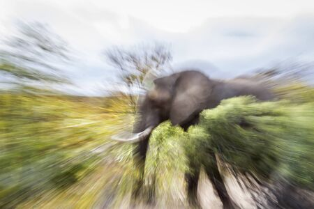 African bush elephant in zooming photography effect in Kruger National park, South Africa ; Specie Loxodonta africana family of Elephantidae