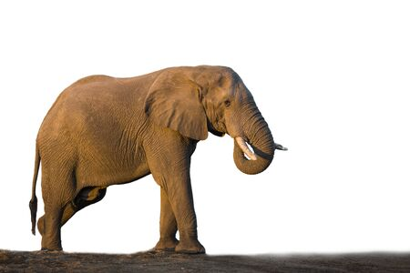 African bush elephant isolated in white background in Kruger National park, South Africa ; Specie Loxodonta africana family of Elephantidae