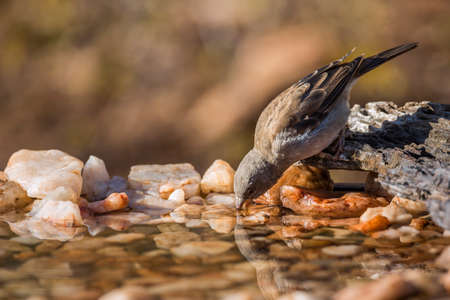 Southern Gray-headed Sparrow drinking at waterhole in Kruger National park, South Africa; Specie family Passer diffusus of Passeridae