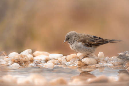 Southern Gray-headed Sparrow standing at waterhole in Kruger National park, South Africa; Specie family Passer diffusus of Passeridae