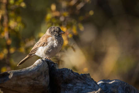 Southern Gray-headed Sparrow standing on a log in fall colors background in Kruger National park, South Africa; Specie family Passer diffusus of Passeridae