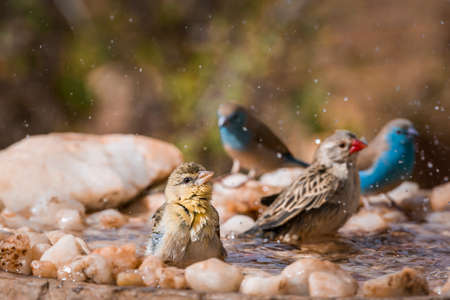 Blue breasted Cordonbleu, Village weaver and Red-billed Quelea bathing in waterhole in Kruger national park, South Africa Foto de archivo