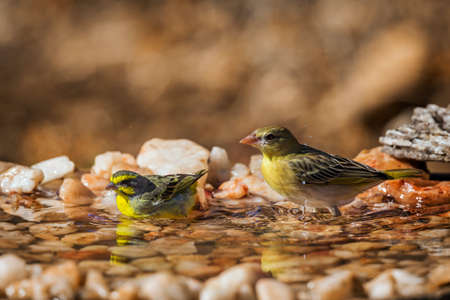 Yellow fronted Canary and village weaver bathing at waterhole in Kruger National park, South Africa; Specie Crithagra mozambica family of Fringillidae
