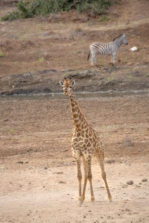 Giraffe standing in sandy riverbank in Kruger National park, South Africa; Specie Giraffa camelopardalis family of Giraffidae